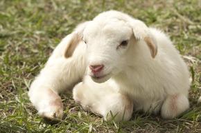 lamb-2216160_960_720